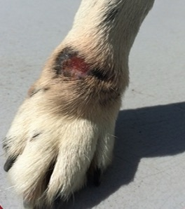 Canine Ankle Open Wound Day 1