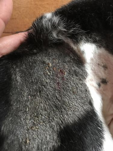 Canine Neck Wound Day 4