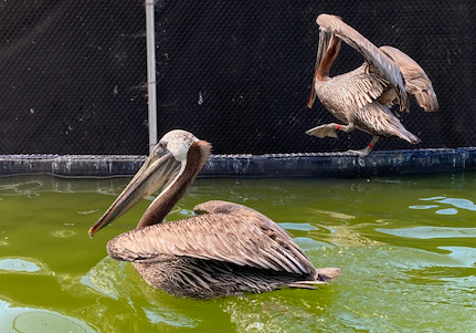 Pelican Wing Wound Recovered Day 8